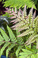 Athyrium otophorum Okanum Lady Fern