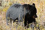 Black Bear, Elk Creek, Yellowstone National Park, Wyoming