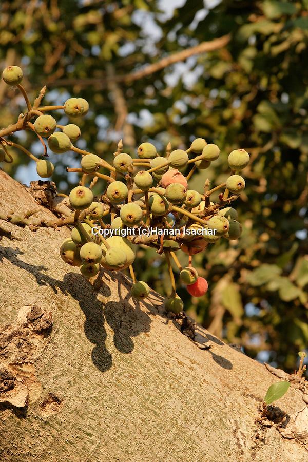 The fruit of a Sycamore tree (Ficus Sycomorus) in Natania, Sharon region, Israel<br />