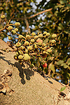 The fruit of a Sycamore tree (Ficus Sycomorus) in Natania, Sharon region, Israel<br />