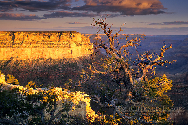 Dawn light on pine tree & canyon from Yavapai Point, South Rim, Grand Canyon National Park, Arizona