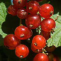 Redcurrants and whitecurrants