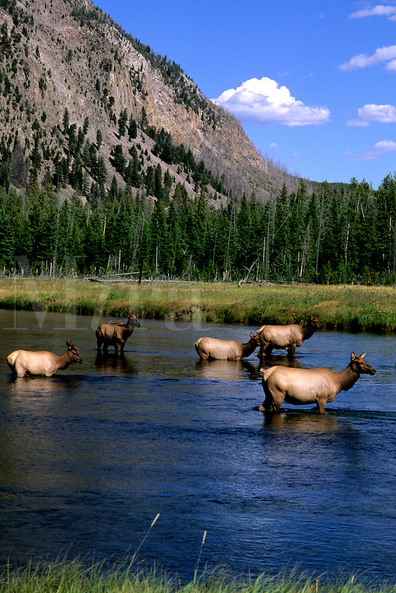 Moose in the water at Yellowstone National Park in Wyoming