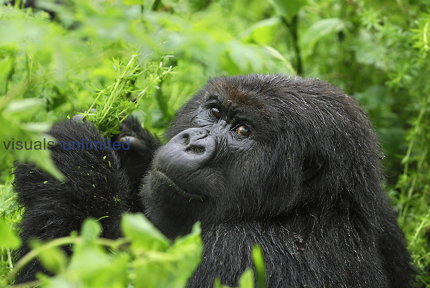 Mountain Gorilla eating (Gorilla beringei beringei), Volcanoes National Park, Rwanda.