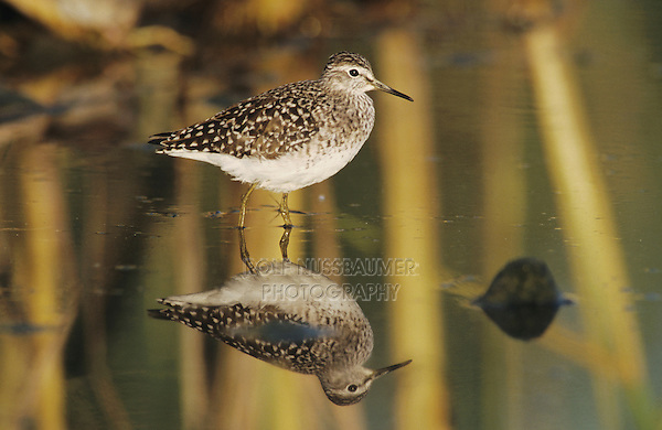 Wood Sandpiper, Tringa glareola,adult, Samos, Greek Island, Greece, May 2000