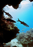 CAYMAN ISLANDS, Grand Cayman, tarpon swim near the protection of a reef at 150 ft in the Caribbean Sea