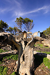 Israel, the Upper Galilee, Atlantic Pistachio (Pistacia Atlantica) tree in Tel Kadesh that was hit by a rocket during the war with Lebanon, 2006