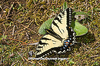03023-02606 Eastern Tiger Swallowtail (Papilio glaucus) on ground, Great Smoky Mountains NP, TN