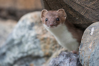 Short-tailed weasel peers out from a log pile in the Alaska Range mountains.