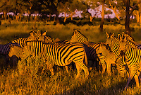 Herd of zebras, Kwando Concession, Linyanti Marshes, Botswana.