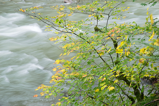 autumn vine maples along Stillaquamish River Washington State