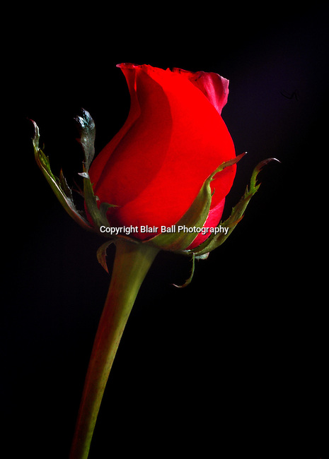 Indoor shot of a red rose.