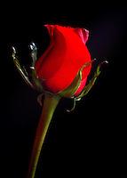Indoor shot of a red rose.