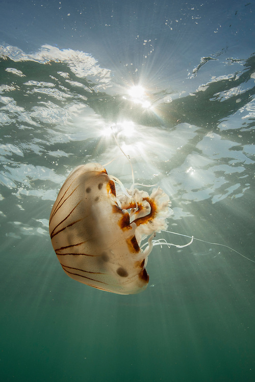 Compass jellyfish (Chrysaora hysoscella) at Lundy Island, United Kingdom