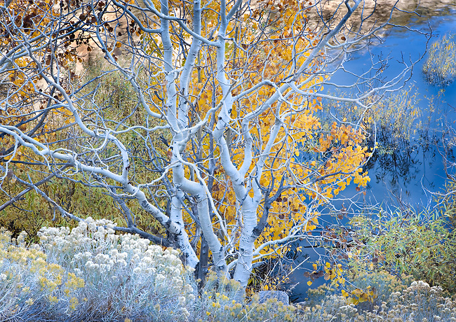 autumn aspen tree along the banks of Grant Lake, CA.