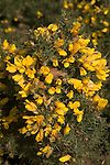 Yellow flowers of common gorse plant, Suffolk, England