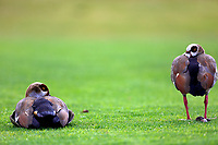Ducks watching the action on the 13th hole in action during the third round of the Barclays Kenya Open played at Muthaiga Golf Club, Nairobi,  23-26 March 2017 (Picture Credit / Phil Inglis) 25/03/2017<br /> Picture: Golffile | Phil Inglis<br /> <br /> <br /> All photo usage must carry mandatory copyright credit (© Golffile | Phil Inglis)