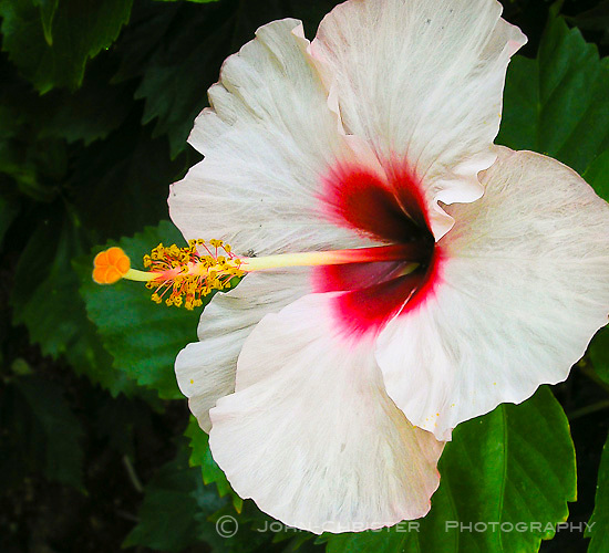 A white hibiscus with a red center;close-up with pollen in focus