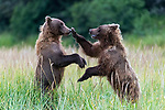 Bear gets bopped on the nose in fight by Hao Jiang