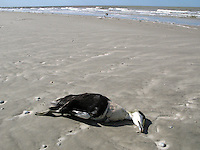 Tote Eiderente, Eider-Ente am Strand der Nordsee, tot angespült, Männchen, Erpel, Somateria mollissima, common eider