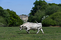 Sebastian the bull enjoys a well-earned rest after impregnating half the herd at Blenheim Palace.