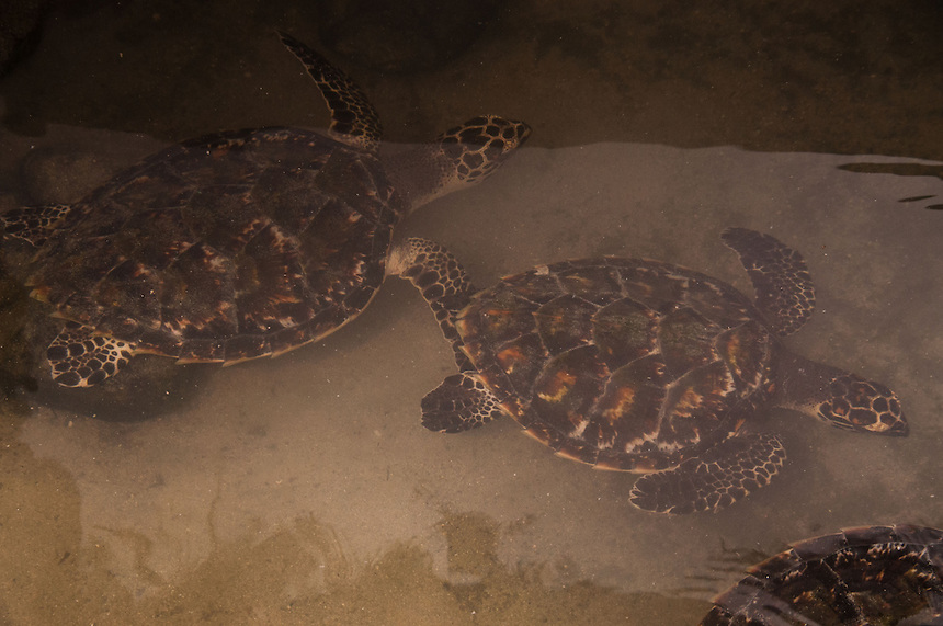 Baby Sea Turtles, Turtle Island, Yasawa Islands, Fiji
