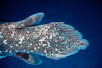 coelacanth, Latimeria menadoensis, back end showing small epicaudal fin in tail, Bunaken National Park, Indonesia, Pacific Ocean