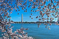 Washington Monument, Spring, Cherry Blossom trees,  District of Columbia, Tidal Basin