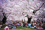 School children enjoy picnic under the cherry blossom at the park of Hirosaki castle, Aomori.