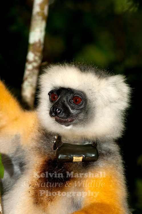 Diademed sifaka (Propithecus diadema) wearing a radio tracking collar. -  This species is widely regarded as the most beautiful of all the primates of Madagascar, the diademed sifaka is indeed striking. Its bare, dark grey or black face is framed with contrasting white hair, and on top of the head is a patch of black  the resemblance of this to a 'diadem', the ornamental headband or crown worn by royalty, is the source of this species English name. Its long, silky fur is typically grey on the back, and rich orange or golden on the arms and legs. The hands and feet are black, and there is often a golden-yellow area around the base of the grey or white.  - Andasibe-Mantadia National Park. Madagascar.