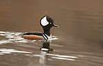 Hooded merganser male breeding plumage