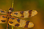 Halloween Pennant (Celithemis eponina)on a dewy morning.<br />
