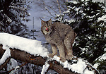 lynx on tree in Montana