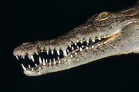 TH76774-D. American Crocodile (Crocodylus acutus), close-up of head showing mouth full of sharp teeth. Growing to 20 feet long, this is one of the larger crocodilians in the New World tropics and potentially dangerous towards people. This species is comfortable in both fresh and saltwater. It feeds on fish, crabs, turtles, birds, and even mammals such as deer. Cuba, Caribbean Sea.<br /> Photo Copyright &copy; Brandon Cole. All rights reserved worldwide.  www.brandoncole.com