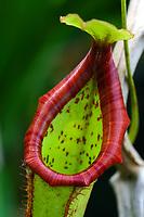 Kannenpflanze, Nepenthes x mixta, Kannenpflanzengewächse, Nepenthaceae, tropical pitcher plants