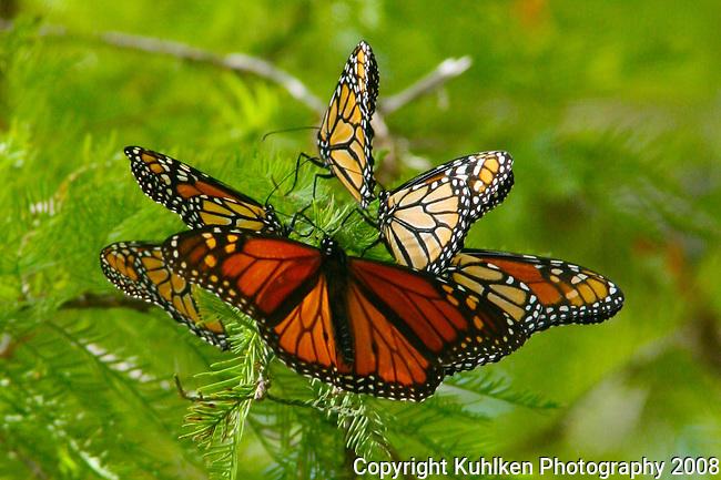 Monarch Migration at Pedernales Falls