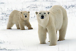 A mother polar bear and her cub stand in the snow.