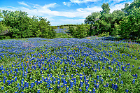 Bluebonnets over the hill and beyond nade for a nice capture this day.  We stopped to capture this image as it was one of the better ones we saw on this day.  Having a nice blue sky with some clouds along with the nice field of bluebonnets that seem to go on and on made this stop worthwhile. Many people love the Texas bluebonnets and come from all over to try and capture something special and this view was nice especially since no one could get into the field so it was more or less pristine.