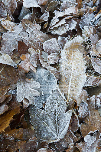Richmond Park, Surrey, England. Winter frosted leaves. Christmas.