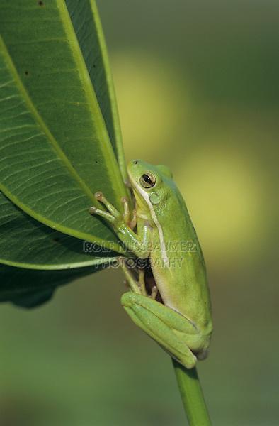 Green Treefrog, Hyla cinerea, adult, Lake Corpus Christi, Texas, USA, May 2003