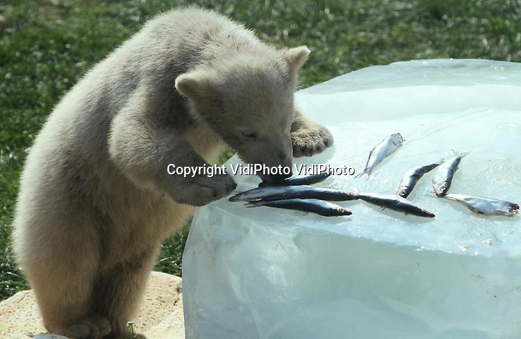 Foto: VidiPhoto..RHENEN - De ijsberen van Ouwehands Dierenpark in Rhenen werden vrijdag alvast verrast met een heus Paasontbijt. Gekleurde paaseitjes, paasbrood, vis en andere lekkernijen werden geserveerd op twee grote blokken ijs. Moeder Freedom en de ijsbeertweeling Siku en Sesi genoten zichtbaar van het feestmaal..