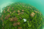 Stingless jellyfish in the water column and on the bottom, Mastigias sp., Jellyfish Lake, Kakaban Island, Berau, Kalimantan, Borneo, Indonesia, Pacific Ocean