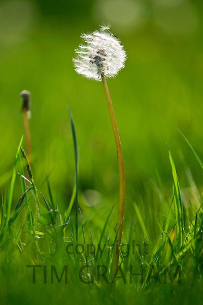Dandelion seed dispersal, England