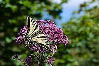 Western Tiger Swallowtail (Papilio rutulus) on flowering bush,  Pacific Northwest.  Summer.