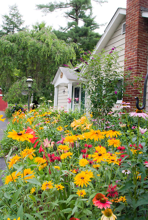 Lush perennial flower garden with house. Black eyed Susans Rudbeckias, Echinacea Coneflowers.