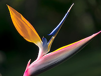 Close up of Bird of Paradise flower. St. John. Virgin Islands.