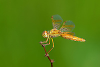 304570011 a wild female mexican amberwing dragonfly perithemis intensa perches on a small plant stem on pintail slough in havasu national wildlife refuge mojave county arizona united states
