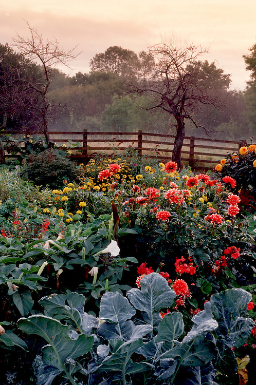 Autumn Brussel sprouts brassica, datura, dahlias, fence, sky, vegetables and flowers growing together