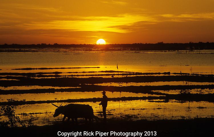 Tonle Sap Sunrise 01 - Rice farmer ploughing with buffalo at dawn, with sun rising over Tonle Sap lake, Siem Reap, Cambodia