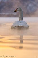 Whooper Swan in Evening Light